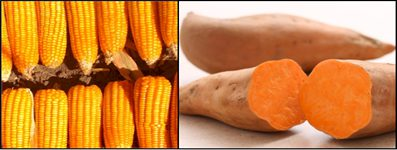 yellow fortified maize and an orange-fleshed sweet potato